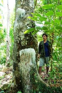 elemi tree